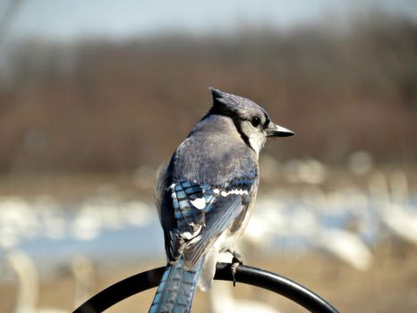 Blue Jay by Michies-Photographyy