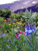 Colorado Wildflowers 3 by SkrydonForestry