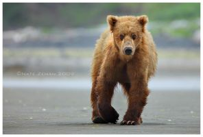 Brown Bear by Nate-Zeman