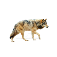 Wolf png. by ScyllaWolf