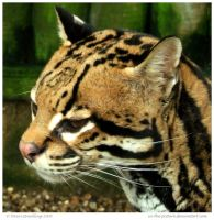 Perusing Ocelot by In-the-picture