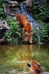 Lord Of The Jungle by SAMLIM