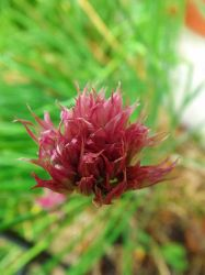 Chives by MindlessAngel