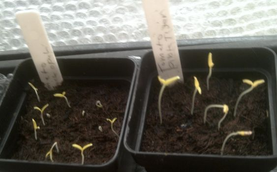 First seedling of the year by Coolfruits