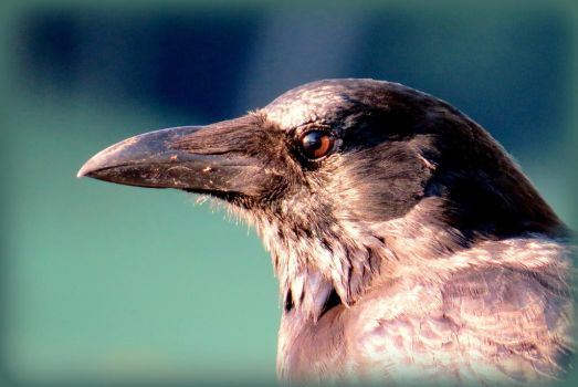 Crow (without add watermark) by Hubert11