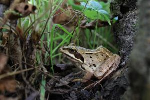 Lithobates silvaticus (Rana silvatica) by Abrimaal