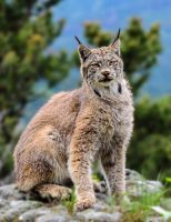 Summer Canadian Lynx by White-Voodoo