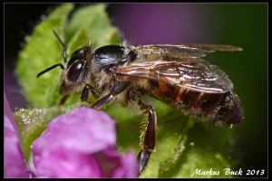 Honey Bee by HobbyFotograf