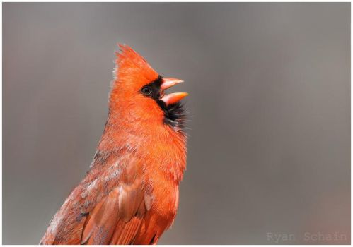 Northern Cardinal - - Singing by Ryser915