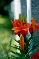 Lillies on a Grave by El-Sharra