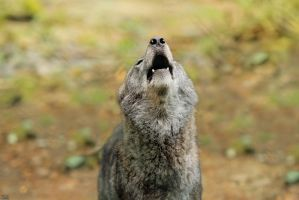 The Cry of the Silverwolf by Khalliysgraphy