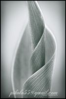 leaf of the lily of the valley by pikolo55