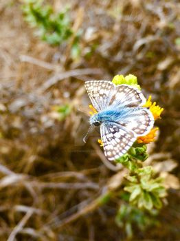 White Checkered Skipper by CraveTheWave
