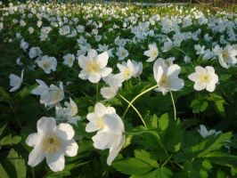 Wood anemones 5 by xGentiana
