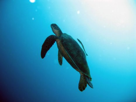 Turtle in Philippines by Nicosubnormale