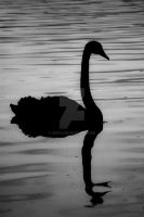 Silhouette Swan by unifx