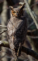 Great Horned Owl 002 by Elluka-brendmer