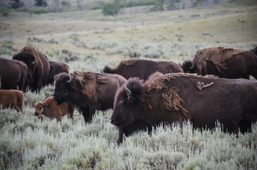 Bison Herd 09 by liorelysia
