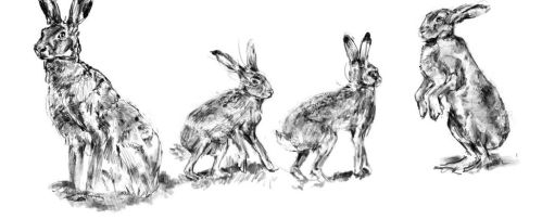 Hares study by Questionball