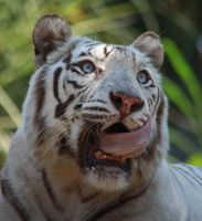 White tiger 6 by AngiWallace