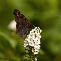 Mr. Butterfly by matze-end