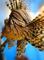 Lion Fish by magikfoto