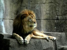 Lion by Video320