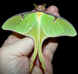 Another Luna moth... by duggiehoo