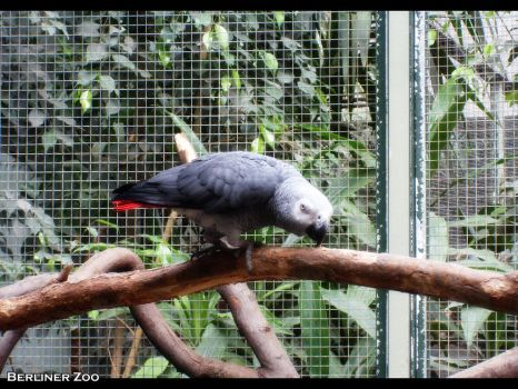 Photo: Grey Parrot by Heliosdream85