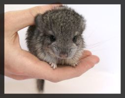 Dee Dee - The Baby Chinchilla. by bumblesquat