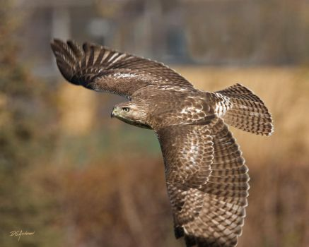 Young RedTail Almost by DGAnder