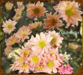 pink flowers 5 PNG  by starscoldnight by StarsColdNight