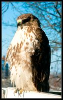 Broad-winged Hawk Half Profile by ruindur