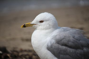 Seagull by MillyT