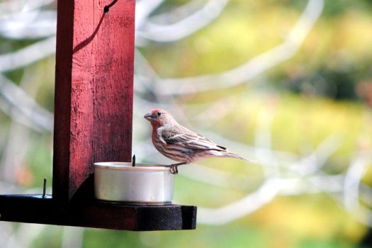 House Finch by charliemarlowe