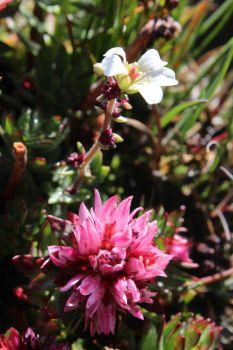 Queen's Crown and Nodding Saxifrage by psycopathdurham