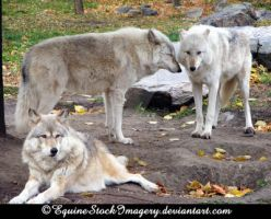 Grey Wolf 3 by EquineStockImagery