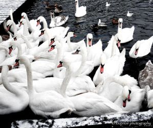 Swans by TheMorRioghain
