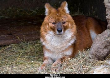 The Dhole .7 by PaPeRDoLLLL
