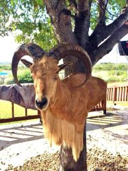 Aoudad wallped by WhiteCrow-Art