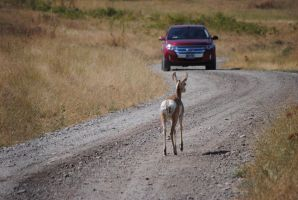 Pronghorn on the Road 002 by Mad-Willy