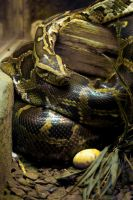 Giant python with egg by steppeland