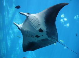 MANTA RAY I by Little-Bluefish