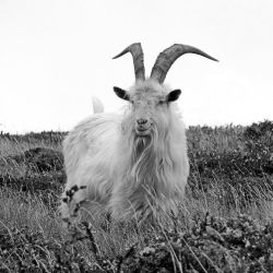 Goat by UdoChristmann