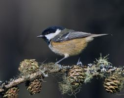 The poser - Coal tit by Jamie-MacArthur