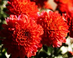 Red Flowers by Xercesa