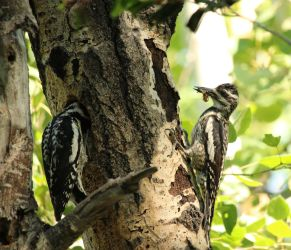 Woodpecker Family by Meagharan