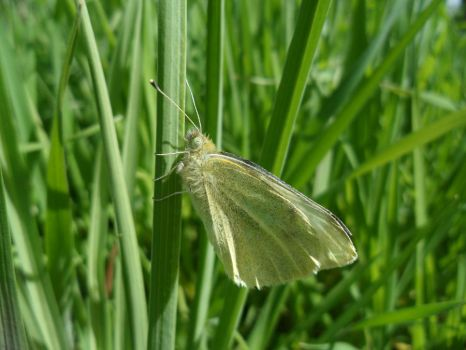 Grassy Wings by YvieStockPhotography
