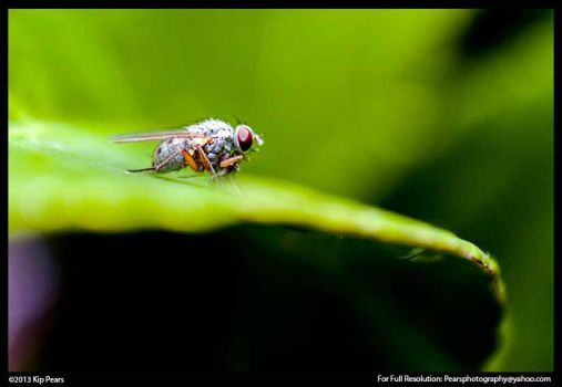 Small fly on leaf by PearsPhotography