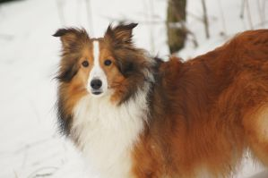The Noble Sheltie III by Chezhnian